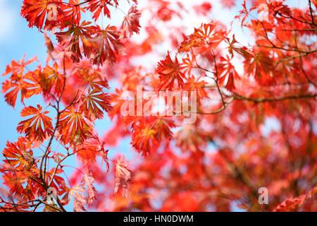 Full Moon Maple, sunny autumn day blue sky, autumn leaves changing colour   Jane Ann Butler Photography JABP1832 - Stock Image