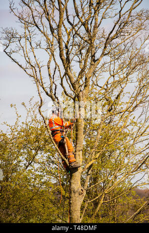 Tree surgeon at work up a tree wearing full safety clothing sawing branches of a tree - Stock Image