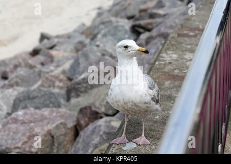 The gull is standing on a stone and looks at the nearby railing. This is visible during a cloudy day near the beach - Stock Image