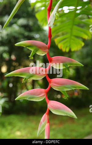 Heliconia, Manuel Antonio, Costa Rica - Stock Image