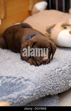 Brown Labrador Retriever, puppy lying on a vetbed next to a plush toy - Stock Image