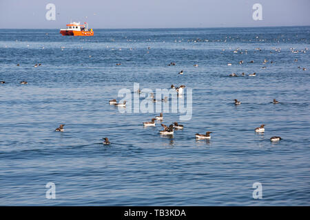 Atlantic Puffin, Fratercula arctica, and Common Guillemot, Uria aalge off the Farne Islands, Northumberland, UK, being watched by tourist wildlife wat - Stock Image