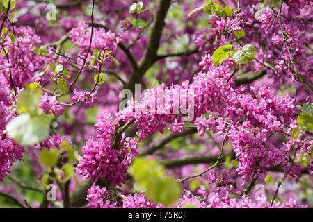 Cercis siliquastrum 'Bodnant' flowers. - Stock Image