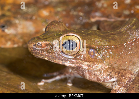 Torrent Frog, Meristogenys sp - Stock Image
