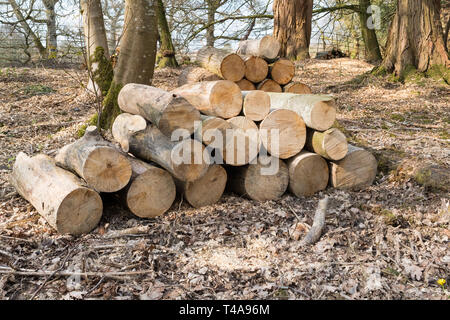 pile of logs in woodland - uk - Stock Image