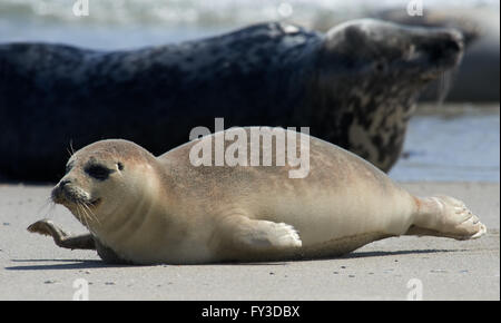Close up of baby gray seal (Halichoerus grypus) moving forward at the beach at Dune, Helgoland, Germany - Stock Image