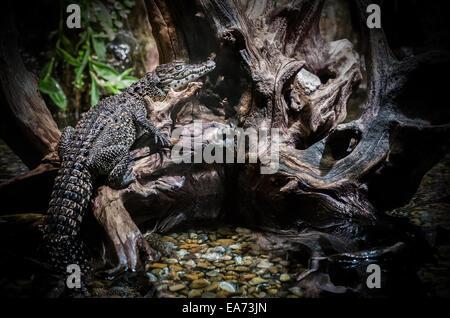 Crocodile climbs on Roots - Stock Image