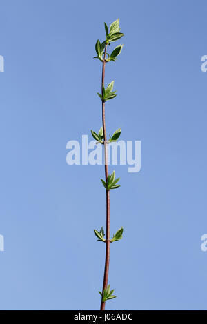 Twig against sky with new green leaves - Stock Image