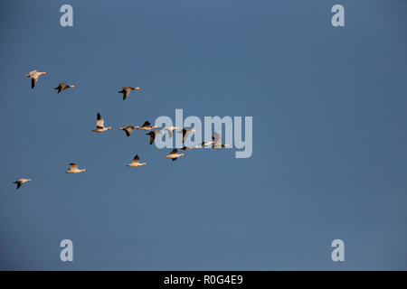 Snow Geese in Flight Cypress hills Saskatchewan - Stock Image