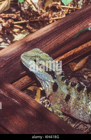 Eastern Water Dragon, Intellagama lesueurii formerly Physignathus lesueurii, New South Wales, Australia - Stock Image