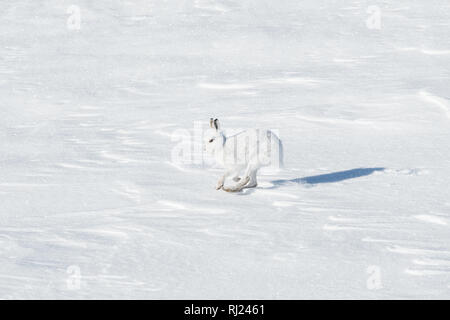 Mountain Hare running across snow in the Cairngorms, Scotland, UK - Stock Image
