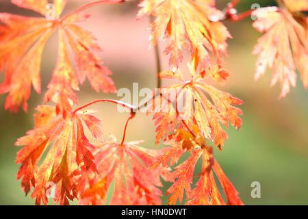 Full Moon Maple, beautiful autumn leaves Jane Ann Butler Photography  JABP1834 - Stock Image