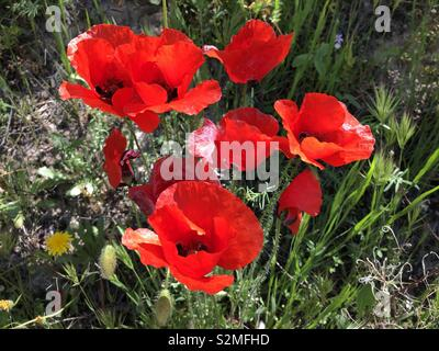 wildflowers in Spring, bright red poppies - Stock Image