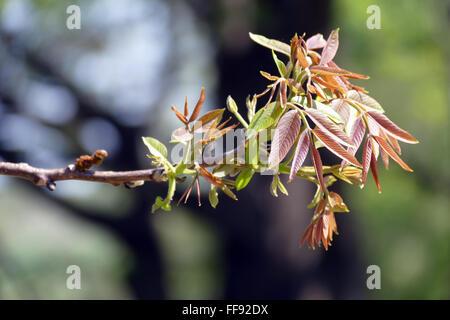 Spring in leaf walnut twig. - Stock Image