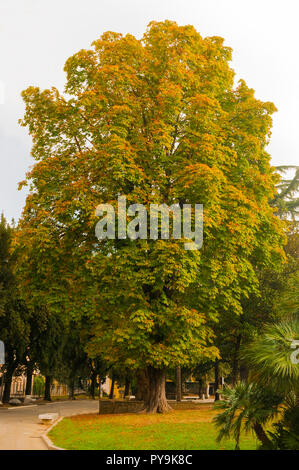 Giant horse chestnut tree in autumn in a park in Carrara, Tuscany - Stock Image