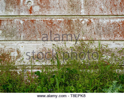 Base of old weathered wooden wall partly covered with white paint and red lichen, and weeds at the bottom - background and texture - Stock Image