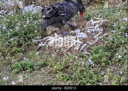 Black swan (Cygnus atratus) using plastic straw wrappers to build a nest - Stock Image
