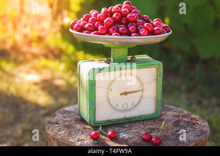 Cherry on the scales in the garden ripe juicy berry - Stock Image
