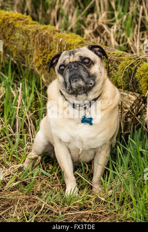Fawn-colored Pug, Buddy, posing by a moss-covered fence in Marymoor Park in Redmond, Washington, USA - Stock Image