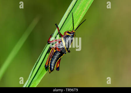 Always beautiful Eastern lubber grasshopper nymph - Stock Image