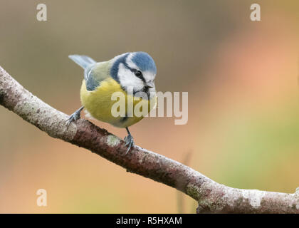 Blue tit - cyanistes caeruleus - perched on a branch with copy space - Stock Image
