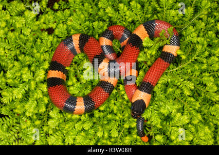 Honduran Milksnake, Lampropeltis triangulum hondurensis, native to Honduras, Nicaragua, and Costa Rica - Stock Image
