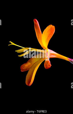 montbretia flower  bloom closeup in Colombia - Stock Image