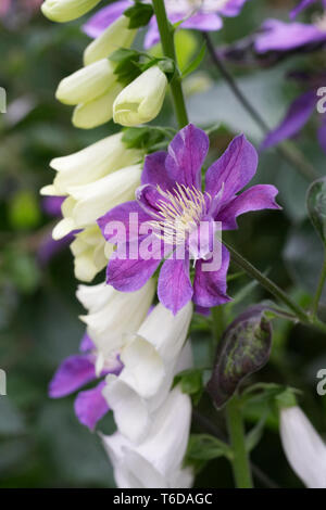 White Foxglove growing through a Purple Clematis. - Stock Image
