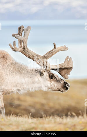 A male reindeer in Svalbard in the Norwegian arctic. - Stock Image