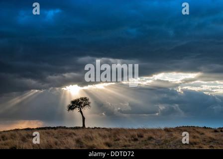 Lone Acacia Tree, Storm and Sunbeams, Masai Mara National Reserve, Kenya, Africa - Stock Image