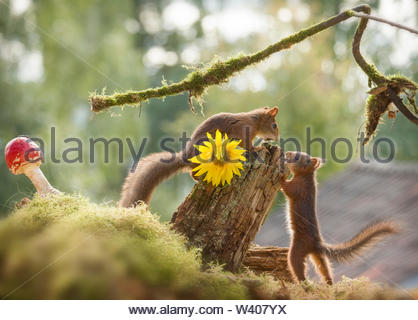 red squirrels standing with sunflower - Stock Image