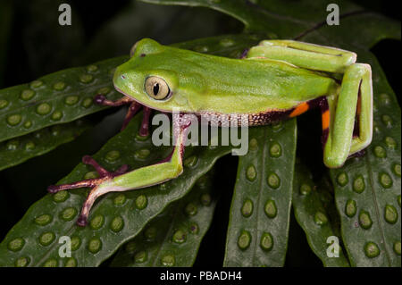 Agua Rica leaf frog (Phyllomedusa ecuatoriana) captive, endemic to Agua Rica, Ecuador. Endangered species. - Stock Image