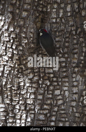 Amost hidden Acorn Woodpecker uses its black feathered back to blend quietly into forest shadows and bark. Location is Mt. Lemmon in Tucson, Arizona. - Stock Image