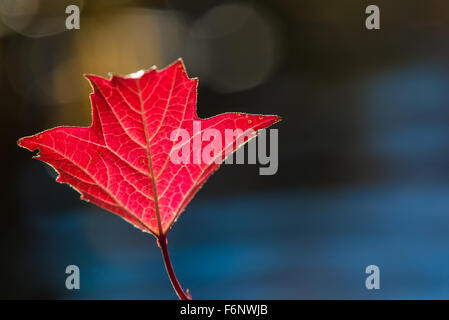 Red autumn colored leaf in sunlight - Stock Image