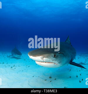 Tiger Sharks Approaching over Sand Bottom, One very close. Tiger Beach, Bahamas - Stock Image