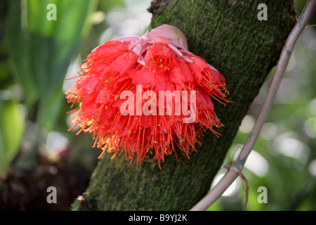 Scarlet Flame Bean aka Mountain Rose, Rose of Venezuela and Cooper Hoop, Brownea coccinea x latifolia, Fabaceae. - Stock Image