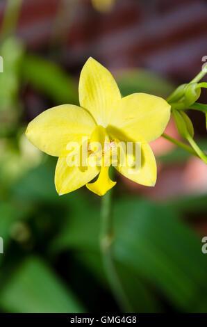 Beautiful yellow flower on tree of Ground Orchid or Spathoglottis Kimballiana - Stock Image