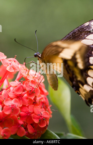 Butterfly on a red flower A - Stock Image