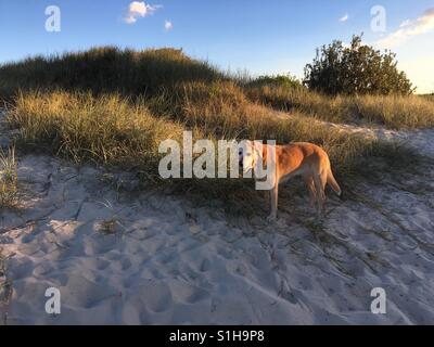Golden Labrador dog on beach with grass and bushes on the Gold Coast Australia - Stock Image