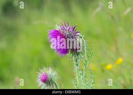 Musk thistle, Carduus crispus,Cressbrook Dale NNR Peak District National Park June 2014 - Stock Image