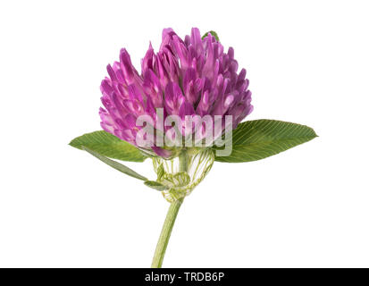 Clover flower  isolated on white background - Stock Image