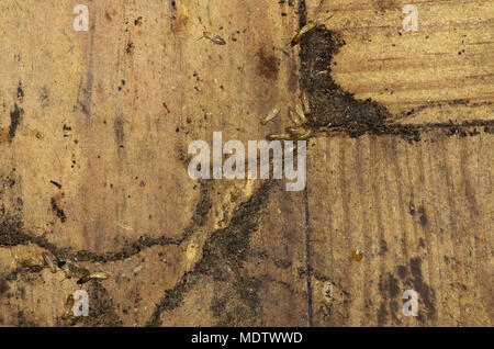 Drywood termites workers and soldiers going over wood floor and entering an hiding tunnel. Soft and pale colored body. - Stock Image