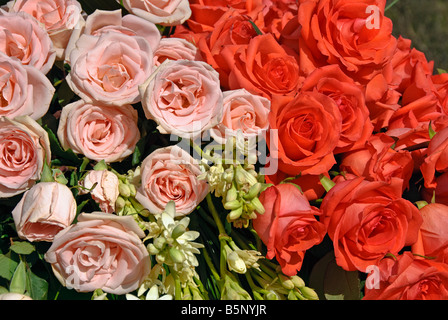 valentine, valentines, rose perennial flowering shrub vine genus Rosa Valentine's Day close up roses natural - Stock Image