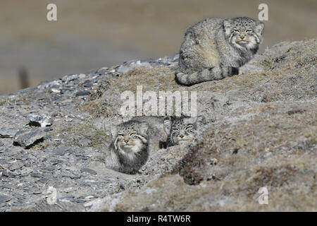 Two Pallas's Cat - Stock Image