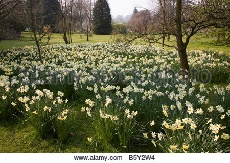 SPETCHLEY PARK GARDENS WORCESTERSHIRE MASSES OF EARLY DAFFODILS ON A HAZY SPRING DAY - Stock Image