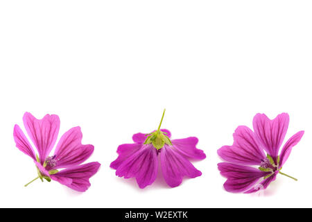 Mallow flowers isolated on white background - Stock Image
