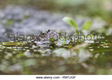Rana temporaria - Common Frog UK - in duck weed covered garden pond with frog spawn out of focus in background - Stock Image