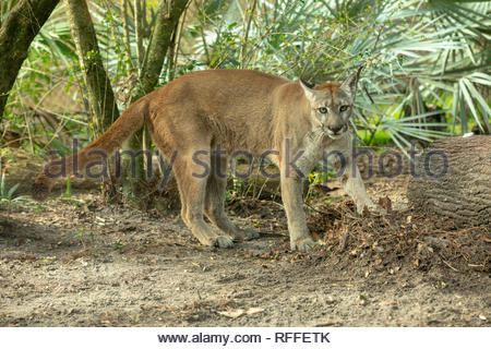 Florida Panther, Jacksonville Zoo, Florida - Stock Image
