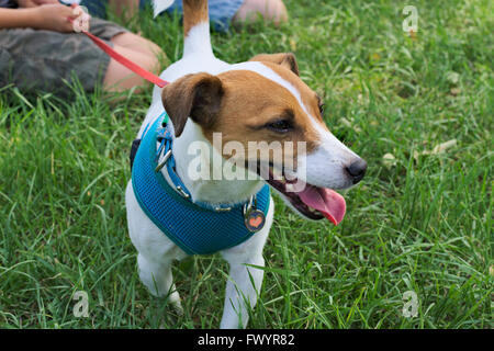 Active fox terrier on lead. - Stock Image