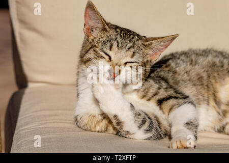 Tabby cat kitten licking and washing front paw - Stock Image